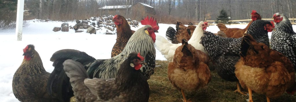 do chickens need a heat lamp?