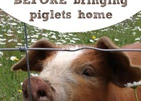 what piglets need