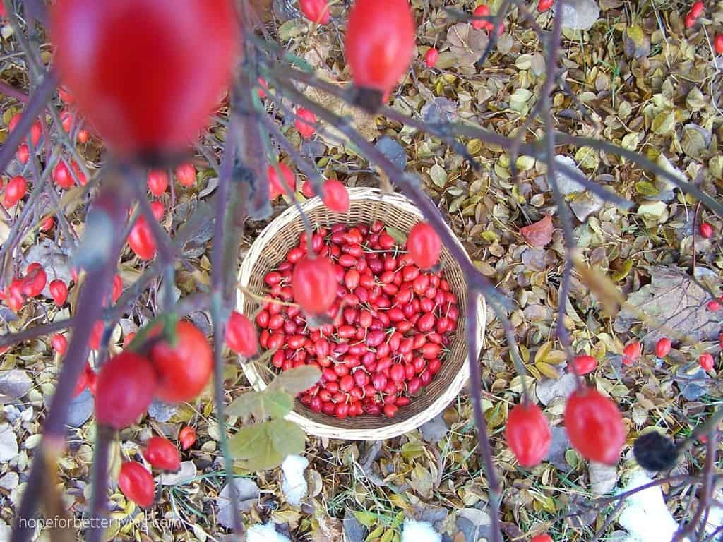 harvesting rose hips into a basket