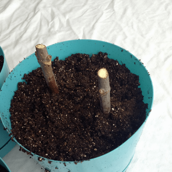 rooting young elderberry cuttings for new bushes