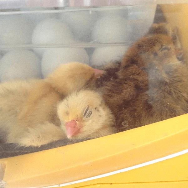 sleeping chicks inside Brinsea Octagon ECO 20 incubator