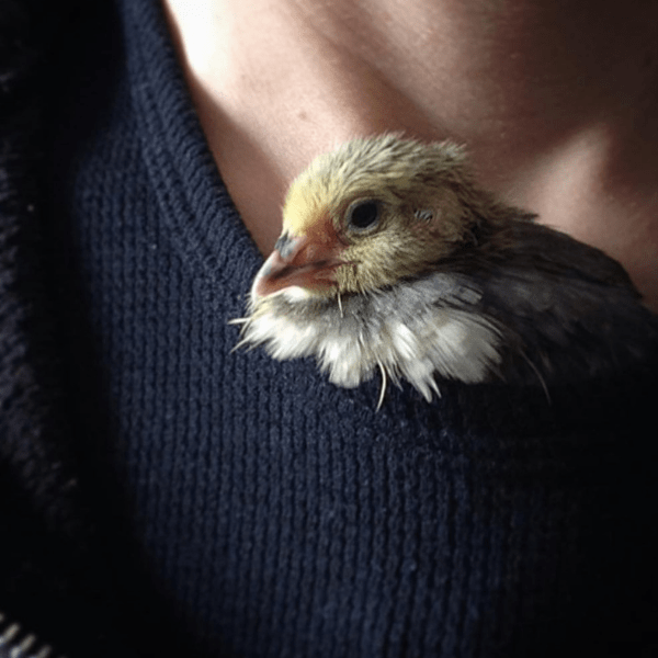 juvenile quail riding in collar of woman's shirt