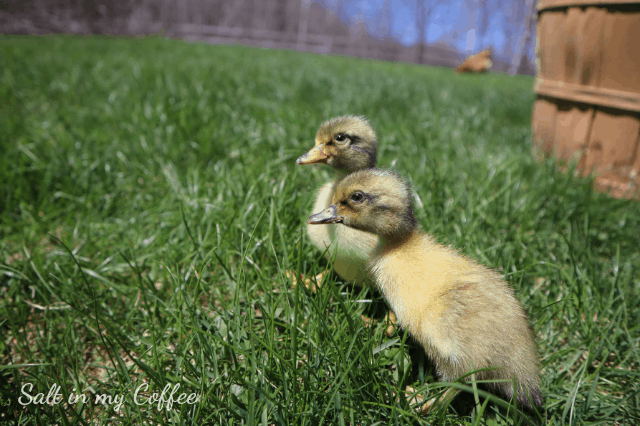 ducklings first day outside, enjoying grass