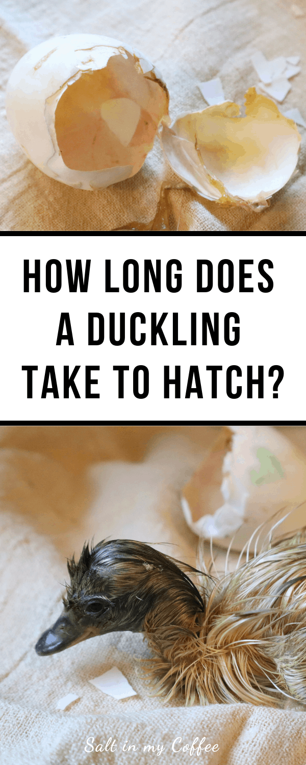How Long Do Ducklings Take To Hatch? - Salt in my Coffee