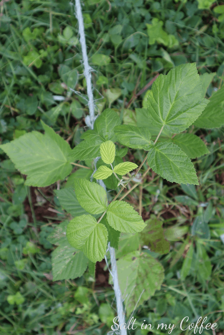Young raspberry bush transplanted in summer