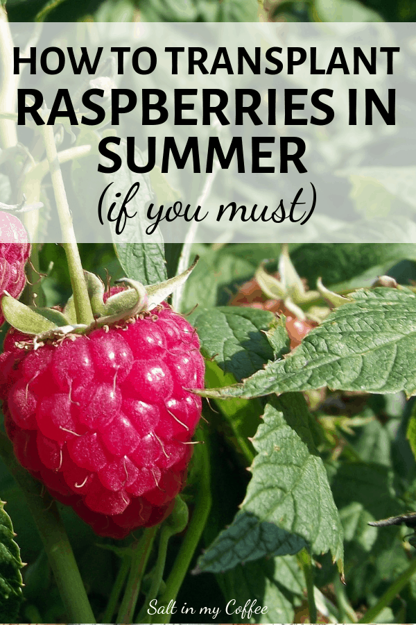 Transplanting raspberry bushes in summer with good results