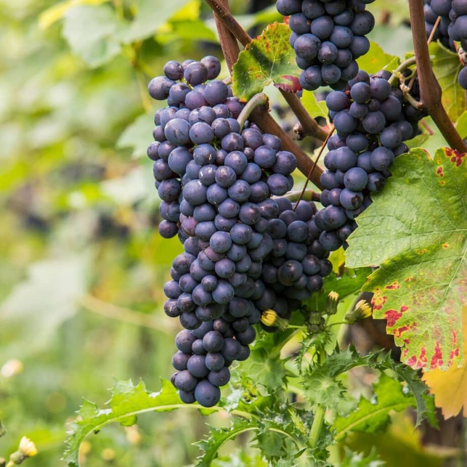 cold hardy red wine grapes for zone 4