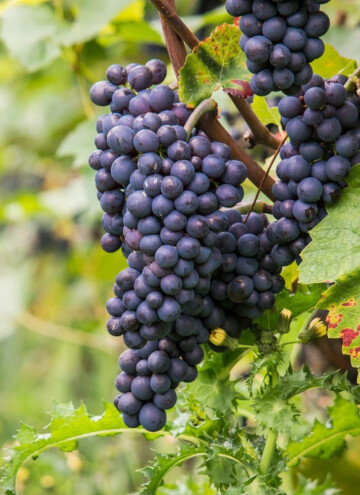 cold hardy wine grapes for zone 4
