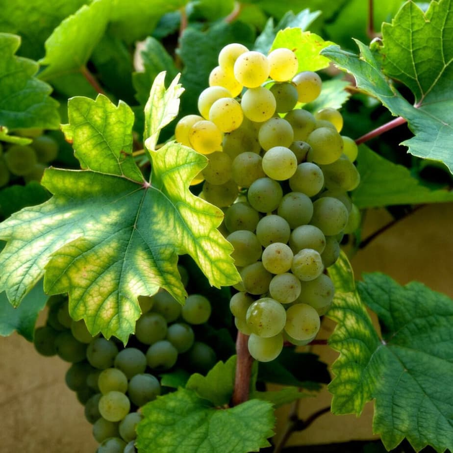 cold hardy white wine grapes