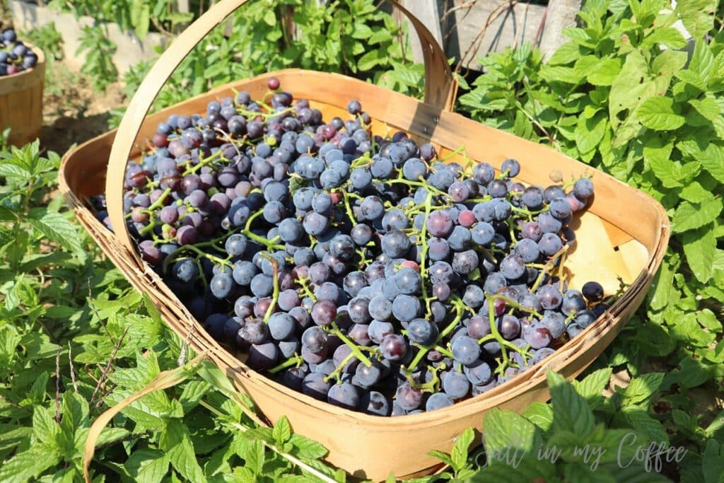 basket of grapes for sale
