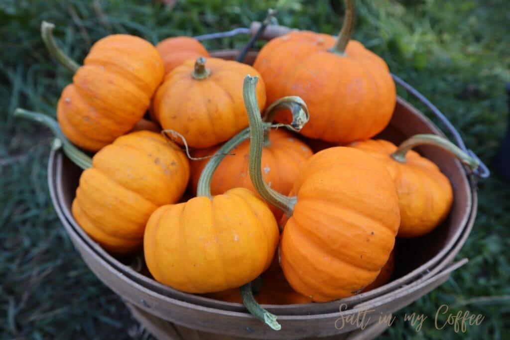 basket of mini pumpkins for sale